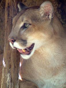 Cougar image